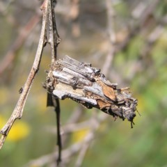 Psychidae sp. (family) (Unidentified case moth or bagworm) at Mount Taylor - 29 Nov 2017 by MatthewFrawley