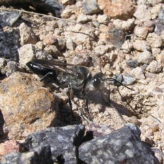 Sphex sp. (genus) (Unidentified Sphex digger wasp) at Kambah, ACT - 29 Nov 2017 by MatthewFrawley