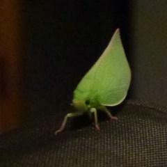Siphanta acuta (Green planthopper, Torpedo bug) at Flynn, ACT - 27 Jan 2012 by Christine