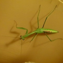 Mantodea sp. (order) (Unidentified praying mantis) at Flynn, ACT - 27 Jan 2012 by Christine