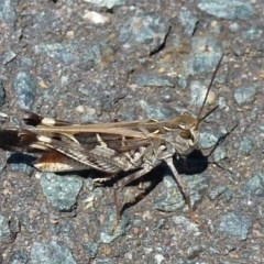 Oedaleus australis (Australian Oedaleus) at Umbagong District Park - 30 Jan 2012 by Christine