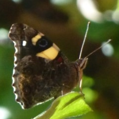 Vanessa itea (Yellow Admiral) at Flynn, ACT - 30 Jan 2012 by Christine