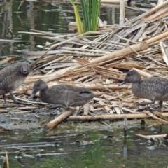 Stictonetta naevosa (Freckled Duck) at Jerrabomberra Wetlands - 1 Dec 2017 by RodDeb