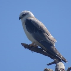 Elanus axillaris (Black-shouldered Kite) at Jerrabomberra Wetlands - 28 Nov 2017 by roymcd