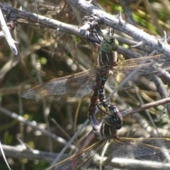Adversaeschna brevistyla (Blue-spotted Hawker) at Jerrabomberra Wetlands - 28 Nov 2017 by roymcd