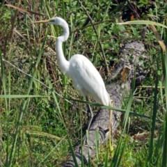 Ardea alba (Great Egret) at Jerrabomberra Wetlands - 17 Apr 2017 by RodDeb