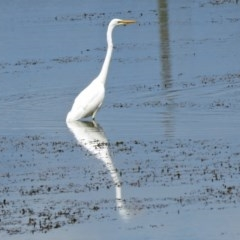Ardea alba (Great Egret) at Jerrabomberra Wetlands - 1 Mar 2017 by RodDeb
