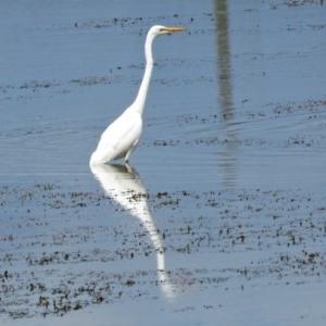 Ardea alba at Jerrabomberra Wetlands - 2 Mar 2017