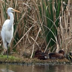 Ardea alba (Great Egret) at Jerrabomberra Wetlands - 25 Oct 2017 by RodDeb