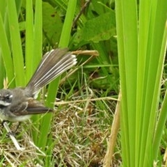 Rhipidura fuliginosa (Grey Fantail) at Jerrabomberra Wetlands - 16 Nov 2017 by RodDeb