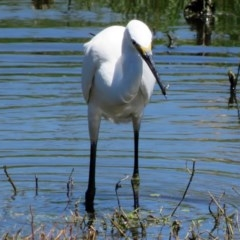 Egretta garzetta (Little Egret) at Jerrabomberra Wetlands - 12 Feb 2017 by RodDeb