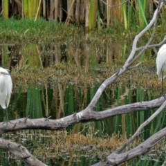 Egretta garzetta (Little Egret) at Jerrabomberra Wetlands - 17 Mar 2017 by RodDeb