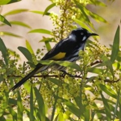 Phylidonyris novaehollandiae (New Holland Honeyeater) at Jerrabomberra Wetlands - 1 Sep 2017 by RodDeb