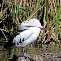Pelecanus conspicillatus (Australian Pelican) at Jerrabomberra Wetlands - 20 Sep 2017 by RodDeb