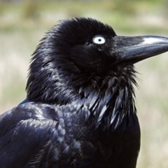 Corvus coronoides (Australian Raven) at Jerrabomberra Wetlands - 1 Nov 2017 by RodDeb