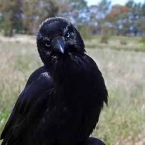 Corvus coronoides at Jerrabomberra Wetlands - 1 Nov 2017