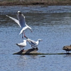 Chroicocephalus novaehollandiae (Silver Gull) at Jerrabomberra Wetlands - 1 Nov 2017 by RodDeb