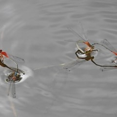 Xanthagrion erythroneurum (Red and Blue Damsel) at Brogo, NSW - 3 Dec 2017 by MaxCampbell