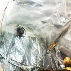 Latrodectus hasselti (Redback Spider) at Hughes Garran Woodland - 3 Dec 2017 by ruthkerruish