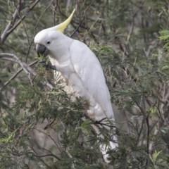 Cacatua galerita (Sulphur-crested Cockatoo) at Namadgi National Park - 2 Dec 2017 by Alison Milton
