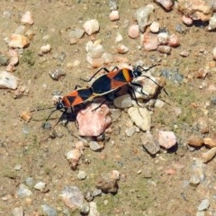 Dindymus versicolor (Harlequin bug) at Jerrabomberra Wetlands - 3 Dec 2017 by RodDeb