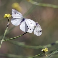 Pieris rapae (Cabbage White) at Jerrabomberra Wetlands - 3 Dec 2017 by RodDeb