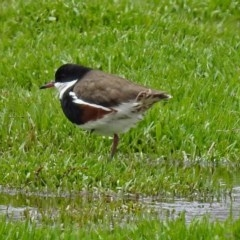 Erythrogonys cinctus (Red-kneed Dotterel) at Jerrabomberra Wetlands - 3 Dec 2017 by RodDeb