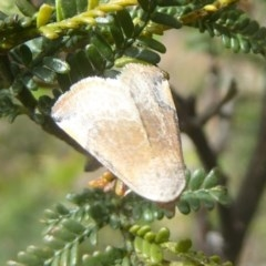 Mataeomera coccophaga (Brown Scale-moth) at Mount Taylor - 2 Dec 2017 by Christine