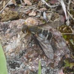 Villa sp. (genus) (Unidentified Villa bee fly) at Mount Taylor - 2 Dec 2017 by Christine