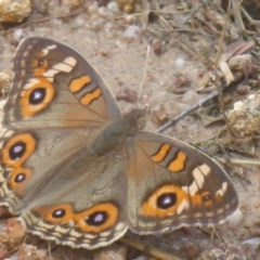 Junonia villida (Meadow Argus) at Mount Taylor - 2 Dec 2017 by Christine