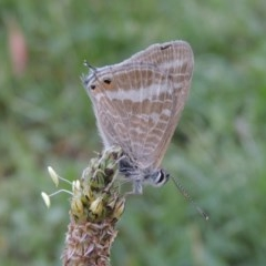Lampides boeticus (Long-tailed Pea-blue) at Conder, ACT - 25 Nov 2017 by michaelb