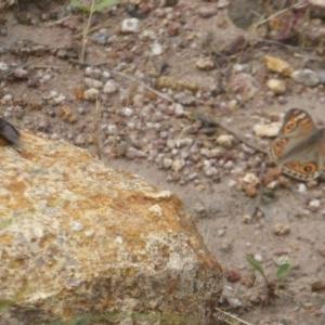 Rutilia (Donovanius) sp. (genus & subgenus) at Mount Taylor - 3 Dec 2017