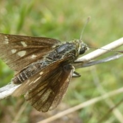 Trapezites luteus (Yellow Ochre, Rare White-spot Skipper) at Mount Taylor - 2 Dec 2017 by Christine