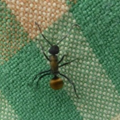 Polyrhachis ammon (Golden-tailed spiny ant) at Mount Taylor - 2 Dec 2017 by Christine