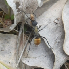Polyrhachis ammon at Mount Taylor - 3 Dec 2017