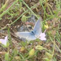 Zizina otis (Common Grass-blue) at Mount Taylor - 2 Dec 2017 by Christine