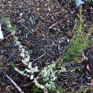 Kunzea ericoides at Hughes Garran Woodland - 28 Nov 2017