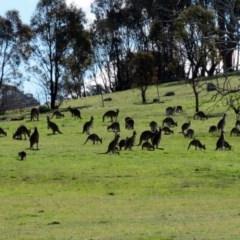 Macropus giganteus (Eastern Grey Kangaroo) at Wanniassa Hill - 31 Aug 2016 by RodDeb