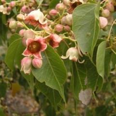 Brachychiton populneus subsp. populneus (Kurrajong) at Mount Taylor - 3 Dec 2017 by MatthewFrawley