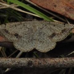 Taxeotis intextata (Looper Moth, Grey Taxeotis) at Tidbinbilla Nature Reserve - 5 Dec 2017 by JohnBundock