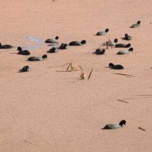 Fulica atra at Jerrabomberra Wetlands - 13 Jul 2017