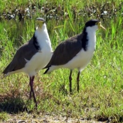 Vanellus miles (Masked Lapwing) at Jerrabomberra Wetlands - 14 Jan 2017 by RodDeb