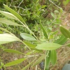Olea europaea subsp. cuspidata (African Olive) at Bruce, ACT - 5 Dec 2017 by MichaelMulvaney