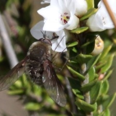 Eusurbus crassilabris (A bee fly) at Gibraltar Pines - 3 Dec 2017 by HarveyPerkins