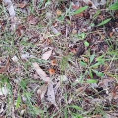 Laccaria sp. (A white-spored mycrorhizal mushroom) at Hughes Garran Woodland - 5 Dec 2017 by ruthkerruish
