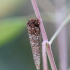 Lepidoscia (genus) (Unidentified cone case moth) at Higgins, ACT - 5 Dec 2017 by AlisonMilton