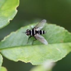 Trigonospila sp. (genus) (A Bristle Fly) at Higgins, ACT - 6 Dec 2017 by Alison Milton