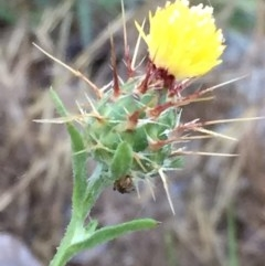 Centaurea melitensis (Maltese Cockspur, Cockspur Thistle) at Wandiyali-Environa Conservation Area - 7 Dec 2017 by Wandiyali