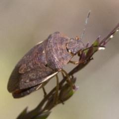 Dictyotus caenosus (Brown Shield Bug) at Namadgi National Park - 7 Dec 2017 by JudithRoach