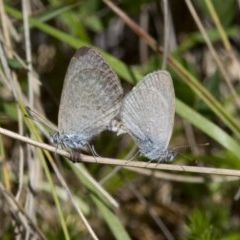 Zizina otis (Common Grass-blue) at Namadgi National Park - 7 Dec 2017 by JudithRoach